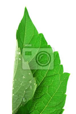 Vinilo Fresco hoja verde con gotas sobre fondo blanco