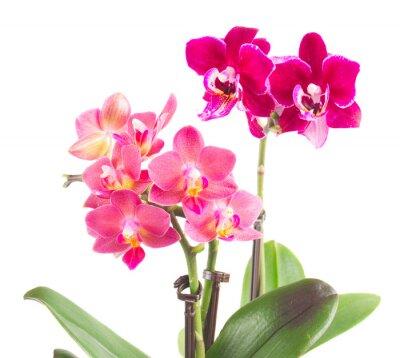 Vinilo Fresco orquídea rosa en el bote