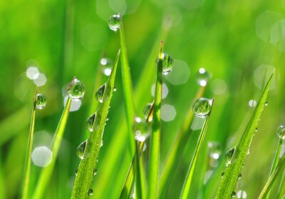Vinilo Fresh green grass with dew drops closeup. Nature Background