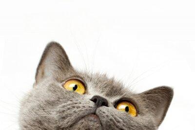 Vinilo Gato británico del shorthair
