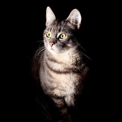 Vinilo Gato, fondo negro
