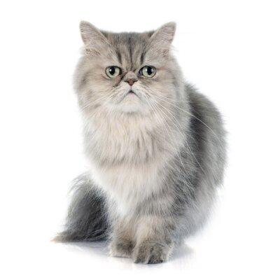 Vinilo gato persa