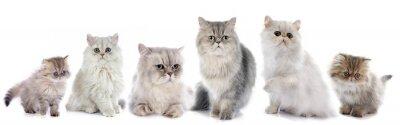 Vinilo Gatos persa de la familia