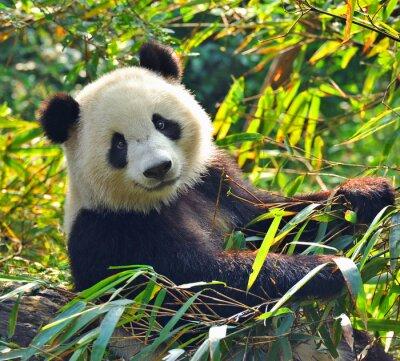 Vinilo Gigante hambriento oso panda comiendo bambú