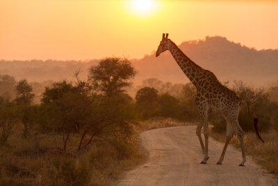 Vinilo Giraffe At Sunrise Kruger National Park