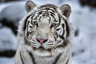 Vinilo Glamour retrato de un joven tigre blanco de bengala