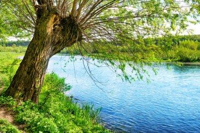 Vinilo Gran árbol viejo en la orilla del río