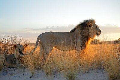 Vinilo Grandes leones africanos masculinos (Panthera leo) en la luz de la mañana, desierto de Kalahari, Sudáfrica.