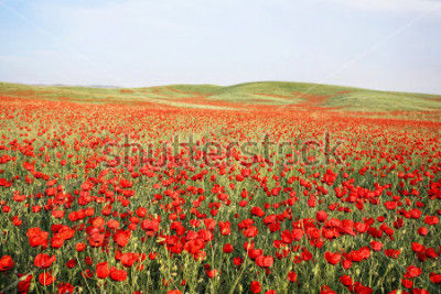 Vinilo green and red beautiful poppy flower field background