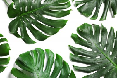Vinilo Green fresh monstera leaves on white background, top view. Tropical plant