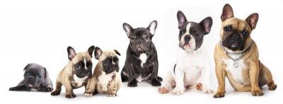 Vinilo Grupo de Bulldogs francés todas las edades en frente de fondo blanco