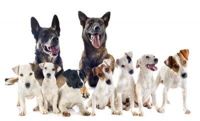 Vinilo grupo de Jack Russel Terrier y malinois