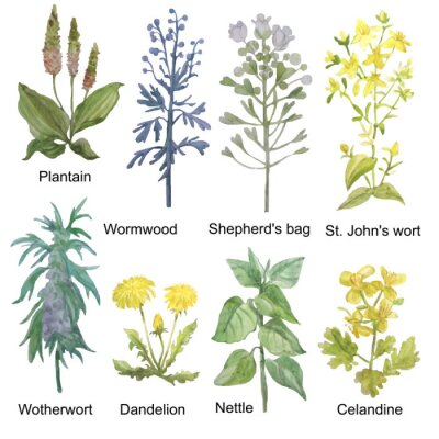 Vinilo Hand-drawn watercolor medicinal forest and meadow herbs. Plantain, wormwood, shepherd's bag, St. John's wort, motherwort, dandelion, nettle and celandine isolated on white background.