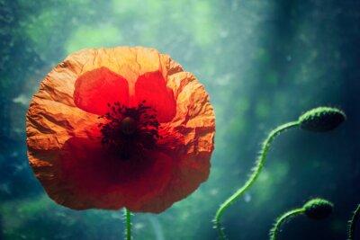 Vinilo Hermosa flor de amapola contra el fondo verde brillantemente iluminado, retroiluminación