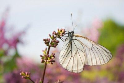 Vinilo Hermosa mariposa sentado en las flores de lila