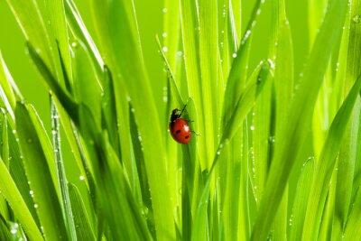 Vinilo hermosa mariquita sobre la hierba verde