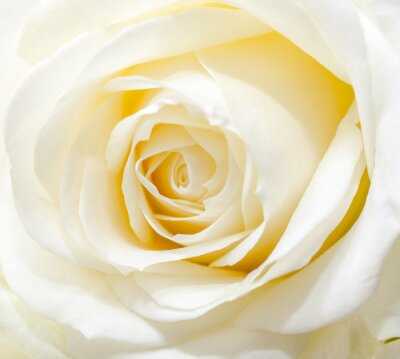 Vinilo Hermosa rosa blanca