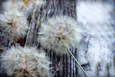 Vinilo Hermosas semillas de diente de león - blowball esponjoso