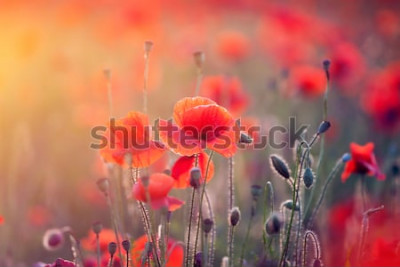 Vinilo Hermoso campo de amapolas rojas en la luz del atardecer.