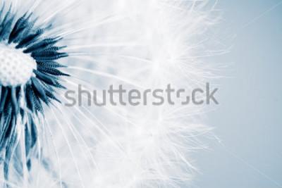 Vinilo Hermoso diente de león con semillas, primer plano