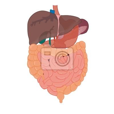 Hígado y los intestinos anatomía vinilos para portátiles • vinilos ...