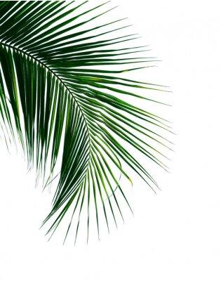 Vinilo Hoja de palma de coco tropical aislado sobre fondo blanco.