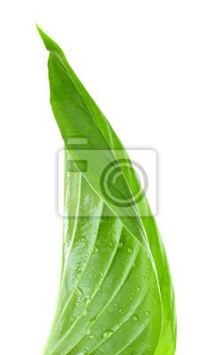 Vinilo Hoja verde fresca con gotas en el fondo blanco