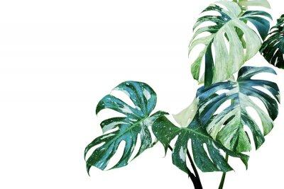 Vinilo Hojas abigarradas de Monstera, Split Leaf Philodendron Plant aislado sobre fondo blanco.