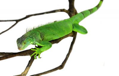 Vinilo Iguana verde aislado en blanco con trazado de recorte