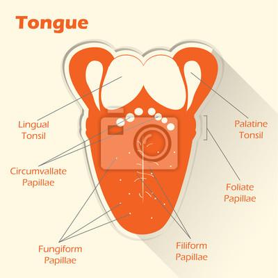 Ilustración conceptual de estilo plano. anatomía de la lengua ...