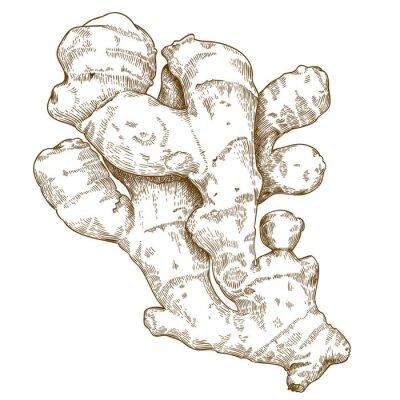 Vinilo Ilustración del grabado de la raíz del jengibre