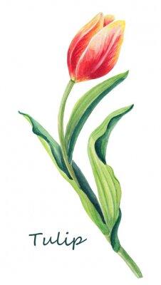 Vinilo Ilustración floral acuarela de hermoso tulipán en el fondo blanco. Tarjeta de felicitación linda. Primavera flor roja, amarilla, naranja y hojas verdes. Tarjeta de felicitación para el día del `s de l