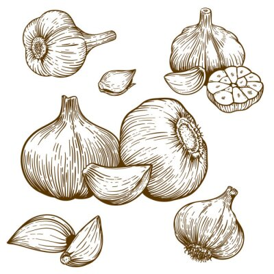 Vinilo ilustración grabado de ajo
