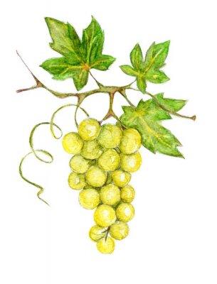 Vinilo Ilustración - uvas verdes