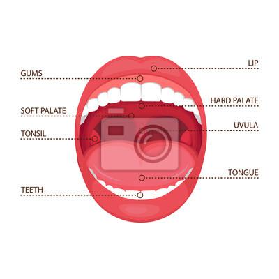 Ilustración vectorial de una anatomía humana abrir la boca. diagrama ...