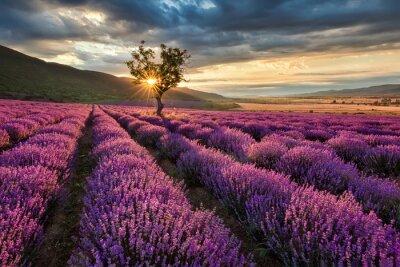 Vinilo Impresionante paisaje con campo de lavanda en la salida del sol