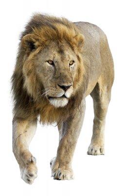 Vinilo Itinerancia león macho libre salvaje contra el fondo blanco
