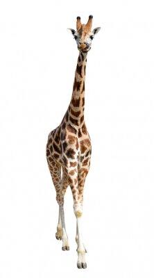 Vinilo jirafa aisladas sobre fondo blanco
