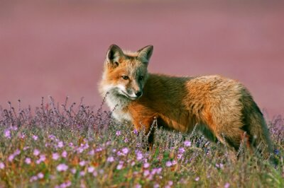 Vinilo Joven zorro rojo