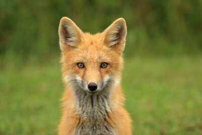 Vinilo Kit de Red Fox Head Retrato, PEI, Canadá