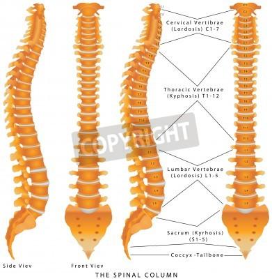 La columna espinal. la columna vertebral diagrama. espina dorsal ...