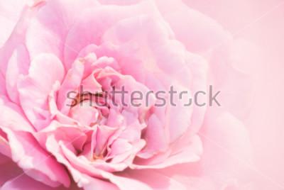 Vinilo La flor de la rosa del rosa en fondo rosado con la profundidad del campo baja y enfoca el centro de la flor color de rosa. Rosa hermosa del rosa en el jardín. macro rosa rosa