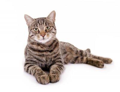 Vinilo La mentira, el gato atigrado