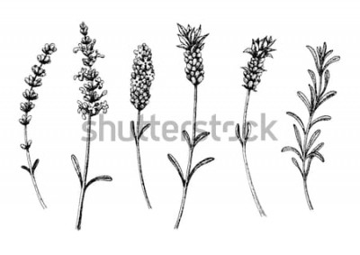 Vinilo Las flores de lavanda silvestres y cultivares. Conjunto floral vintage. Boceto dibujado a mano de tinta. Ilustración vectorial