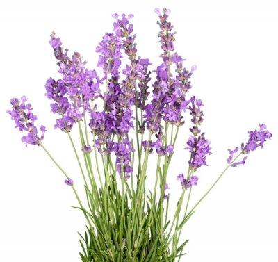 Vinilo Lavanda, Color lavanda, flor.