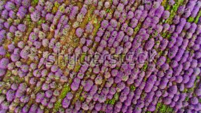 Vinilo Lavender field aerial view. Top view.