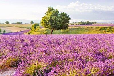 Vinilo Lavender fields near Valensole in Provence, France on sunset