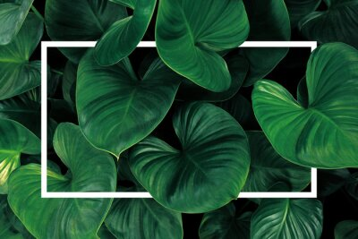 Vinilo Leaf pattern nature frame layout of heart shaped green leaves Homalomena tropical foliage plant on dark background with white frame border.