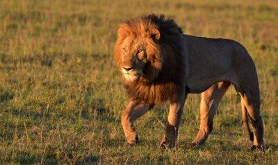 Vinilo León africano