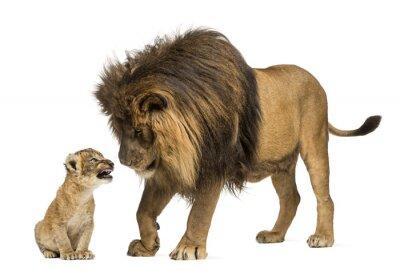 Vinilo León de pie y mirando un cachorro de león
